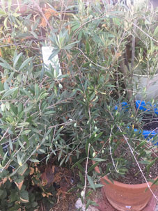 Our Olive tree is developing olives!